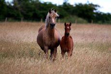Verkaufspferde Deutsches Reitpony Goldika